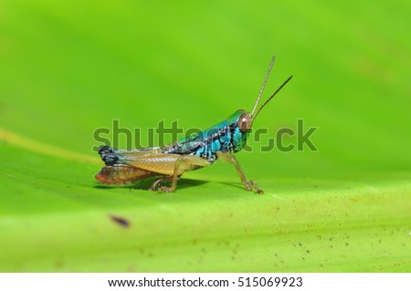 An Image of Grasshoppers in green leaves