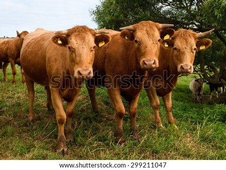 An inquisitive Limousin bullock leads a group of horned youngsters in the hope of a handful of cattle cake on the Somerset Levels in the west of England.
