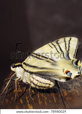 An old World Swallowtail butterfly on a log