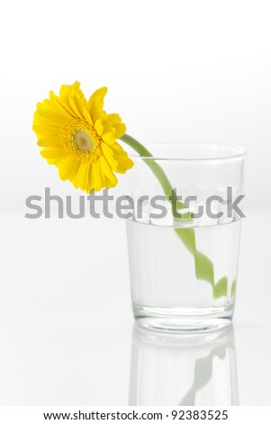 An yellow gerbera in a glass