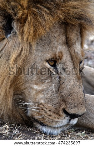 An Young Lion. Close look of lion's face lying on ground. Photo taken in Masai Mara, Kenya.