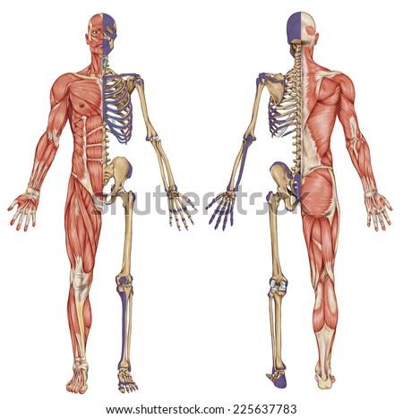 diagram human skeleton main parts skeletal stock vector 203934397, Cephalic Vein