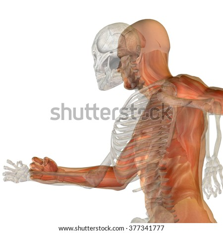 Anatomy concept conceptual human man body chest, head isolated on background, metaphor to medical, science, health, male, biology, medicine, bone, anatomical, muscular, system, face, cranium, spine