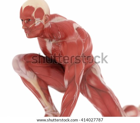 Anatomy muscle map on white isolated
