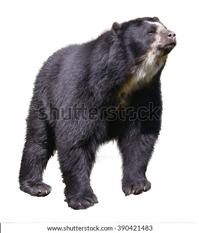 Andean bear (Tremarctos ornatus) standing near pond, also known as the spectacled bear, isolated on white background