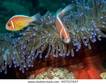 anemone fish at underwater