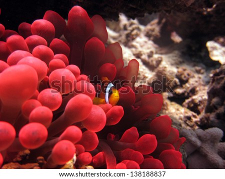 Anemonefish in red anemone