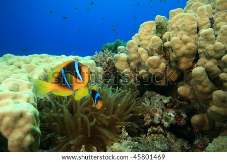 Anemonefishes in an anemone amongst a coral reef