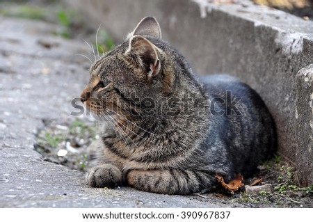 angry tabby cat profile