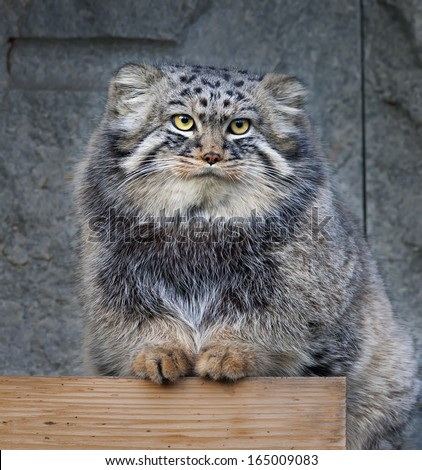 Animal portrait of a pallas cat or manul cat or otocolobus manul