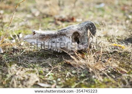 bobcat eating deer stock photo 98385575 shutterstock