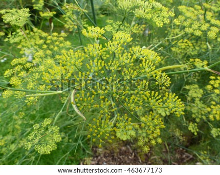 Anise Pimpinella anisum, also called aniseed, is a flowering plant in the family Apiaceae
