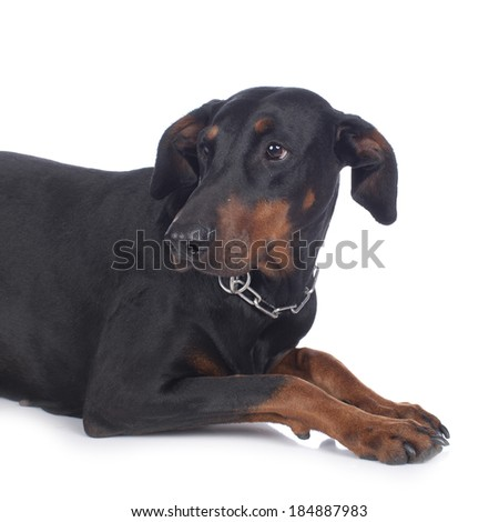Anxious dobermann dog