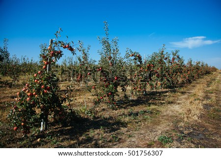 Apple orchard at sunny autumn day