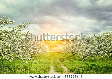 Apple orchard in springtime
