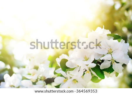Apple Tree Blossoms in Spring Garden. White Flowers on a branch in morning sunlight. Natural floral abstract  background, spring time season