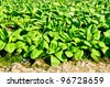 Arable farmland with fresh Chinese cabbage - stock photo