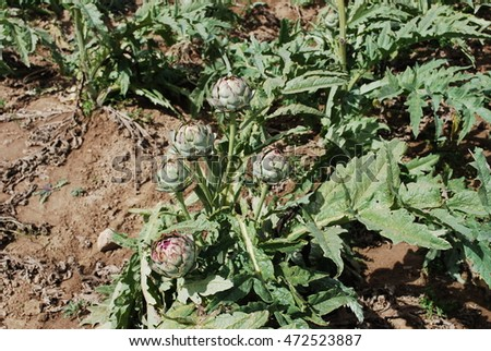 Artichokes (bud) growing on the field. Agriculture in France.