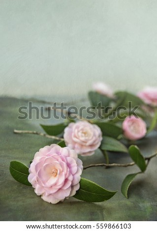 Artistic still life with vintage textures and blurs of pristine Pink Perfection Camellias scattered on a tabletop