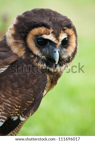 Asian Brown Wood Owl (Strix leptogrammica)