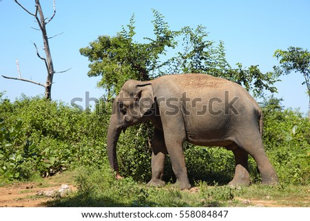 Asian elephant standing on the grass among green bushes and dead trees on Sri Lanka island.