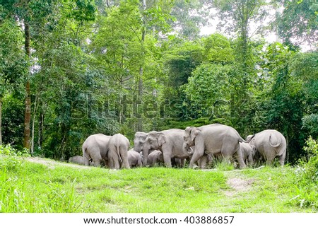 Asian elephants in the wild in Thailand 5