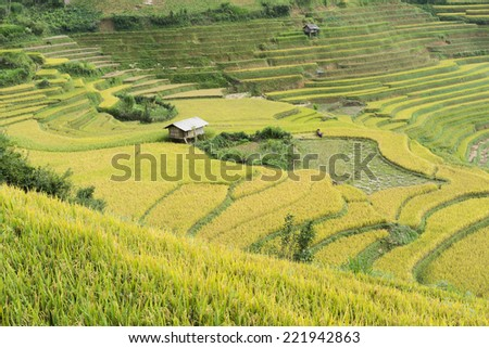 Asian rice field in harvesting season in Mu Cang Chai, Yen Bai, Vietnam. Terraced paddy fields are used widely in rice, wheat and barley farming in east, south, and southeast Asia