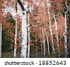 aspen trees with red leaves outside in the forest with a landscape of tress in the background - stock photo