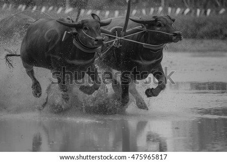 August 28, 2016 in Buffalo Racing Festival . Chonburi, Thailand , held annually .