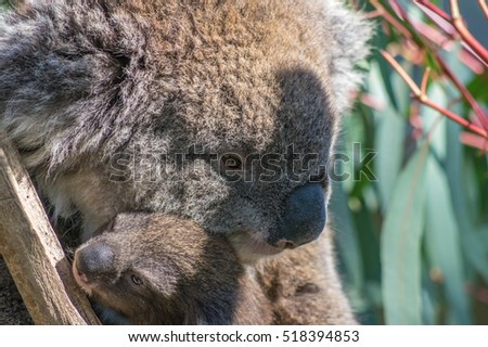 Australian Koala Bear  with baby Joey sitting in a Eucalpt Tree