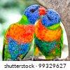 Australian rainbow lorikeets. Australia beautiful birds kissing  on branch in nature surrounding - stock photo