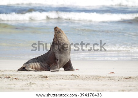 Australian sea lion (Neophoca cinerea) on the beach at Seal Bay, Kangaroo Island, South Australia, Australia.