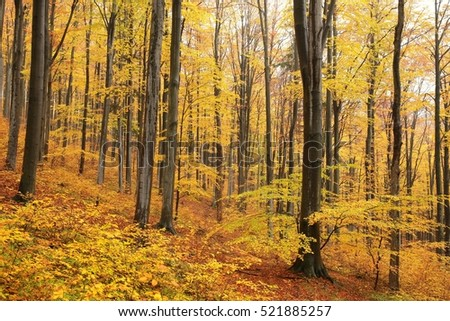 Autumn beech forest.