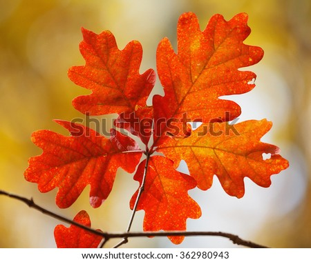 Autumn foliage: a cluster of five bright orange oak leaves on yellow background.
