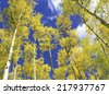 Autumn foliage - Aspen trees in golden yellow against blue sky - stock photo