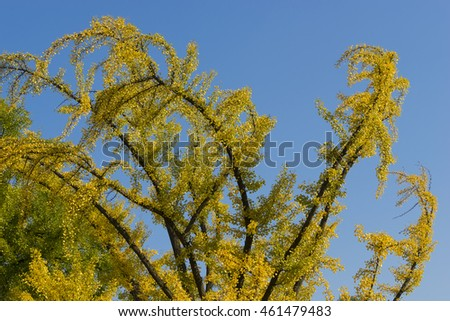 Autumn Foliage - Golden Leaves of a Ginkgo Biloba Tree (aka Maidenhair Tree)