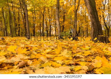Autumn forest with golden yellow leaves