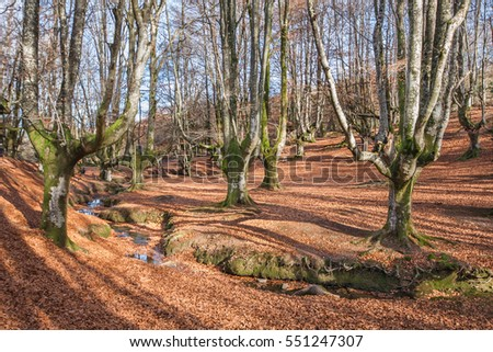Autumn in a beech forest in northern Spain