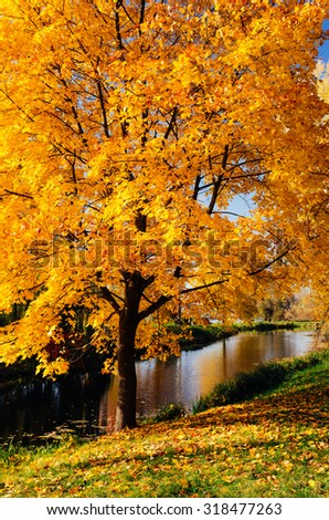 Autumn landscape with maple. Pond in the park