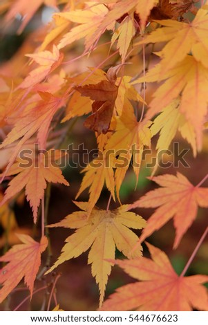 Autumn leaves, japanese red maple tree,Japan