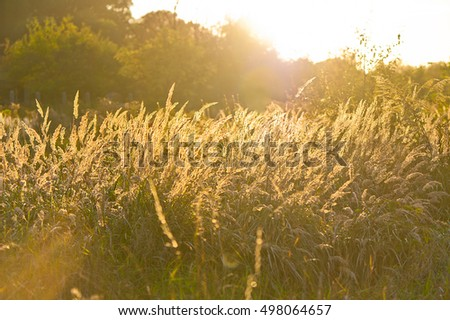 Autumn sunset in the countryside with long eared grass in the foreground.