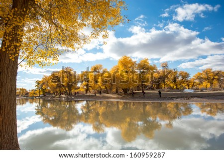 Autumn view of poplar tree , ejina, inner mongolia ,china