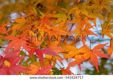 Autumn yellow and red maple leaves