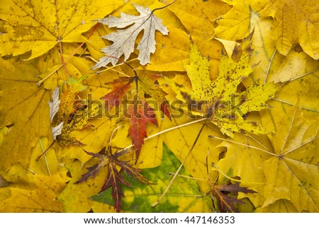 autumn yellow leaves as background closeup