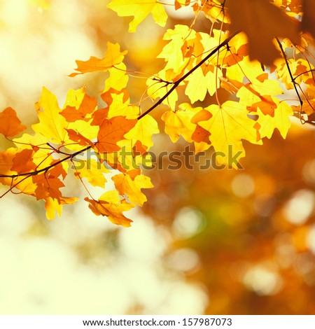 autumn yellow leaves in sunny day and nice blurred background