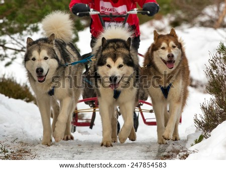 AVIEMORE, INVERNESS-SHIRE, SCOTLAND - 24 JANUARY: This is a participant within the Siberian Husky Dog Great Britain race meeting at Aviemore in Inverness-Shire, Scotland on 24 January 2014.