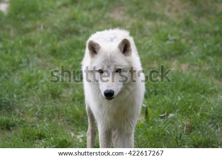Awesome arctic wolf outdoor shot.  Animal shot capturing White Arctic Polar Wolf.