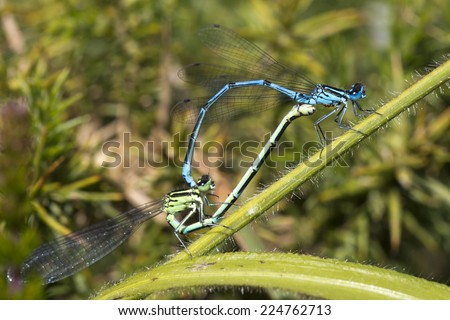 Azure Damselfly, male and female pair copulating in 'wheel' position, The Lizard, Cornwall, England, UK.
