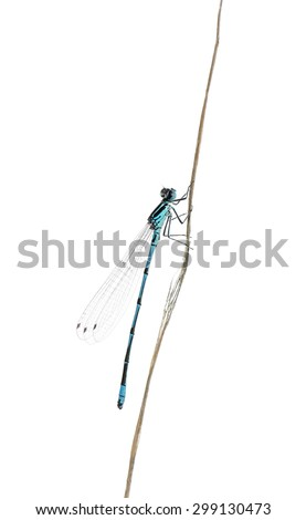 Azure damselfly on a twig in front of a white background