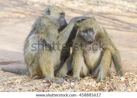 Wild Animal Asian Monkey Baby Stock Photo 182980352 ...